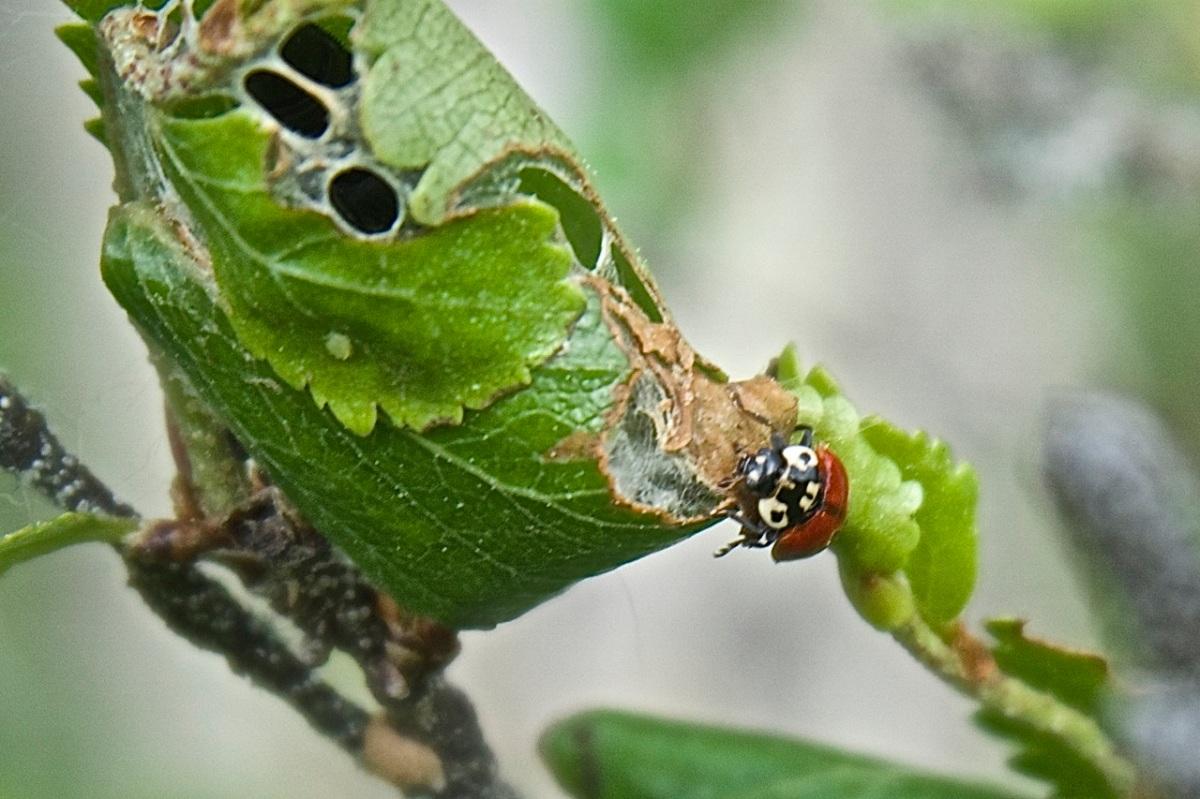 Eye-spotted ladybug beetle