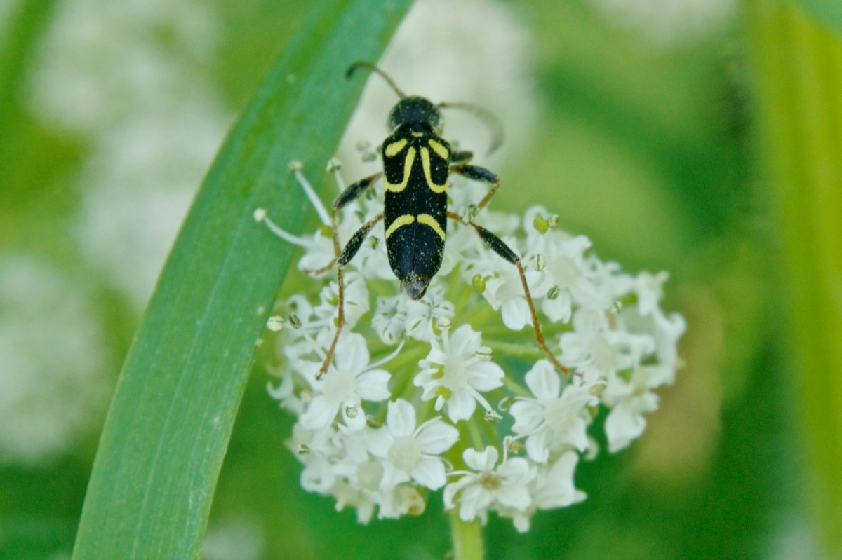 Round-necked longhorn beetle